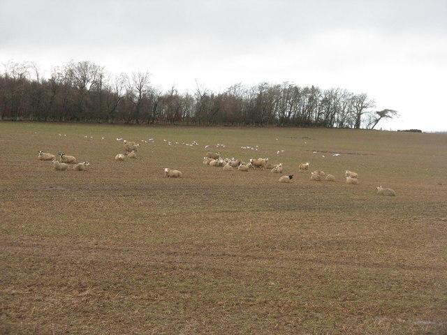 Sheep and gulls near Longyester