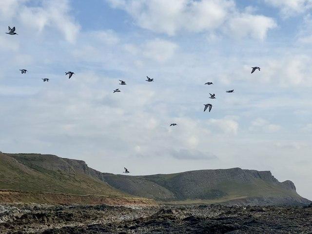 Flock of oystercatchers