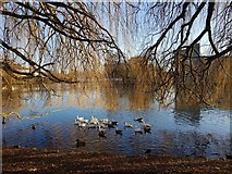 SE6250 : Geese and ducks by DS Pugh