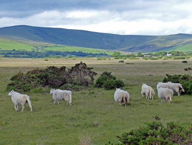 Sheep near the Gors Fawr Stone Circle
