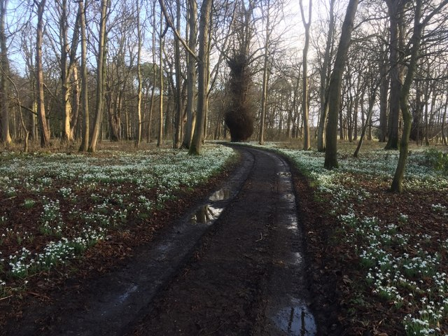 Snowdrops, South Wood