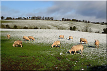 H5064 : Sheep, Moylagh by Kenneth  Allen