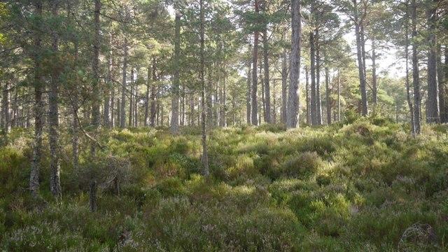 Abernethy Forest
