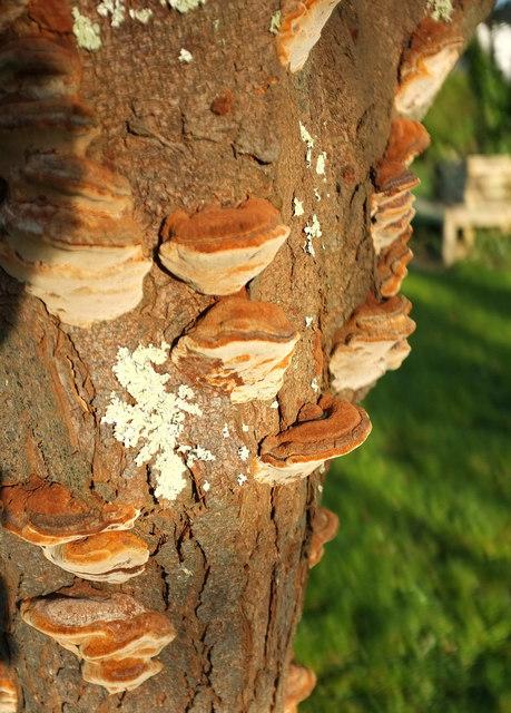 Bracket fungus, Whiterock