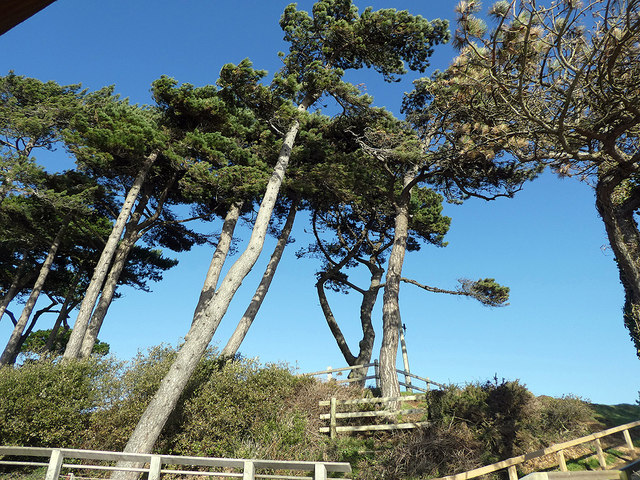 The pines at Lepe
