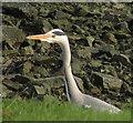 SW9972 : Grey heron by the Camel, Wadebridge by Derek Harper