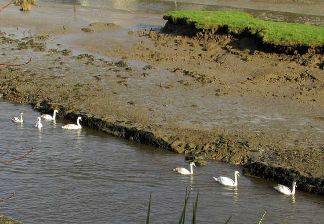 Family of swans, Wadebridge