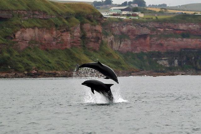 Bottlenose dolphins off the Berwickshire Coast