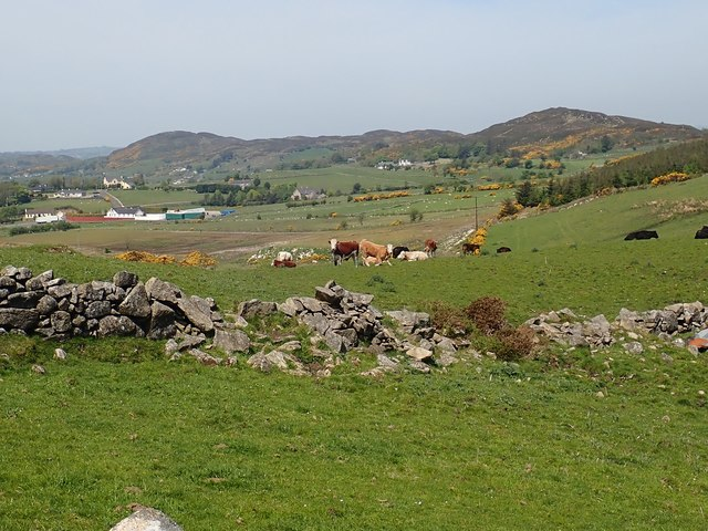 Cattle grazing on marginal land in the SE section of the Ring of Gullion