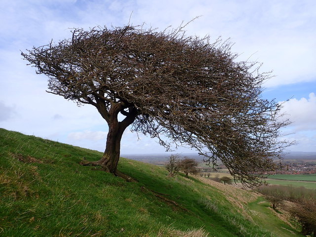 Wind-shaped tree