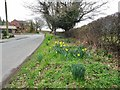 SO8693 : Bratch Common Road Daffs by Gordon Griffiths