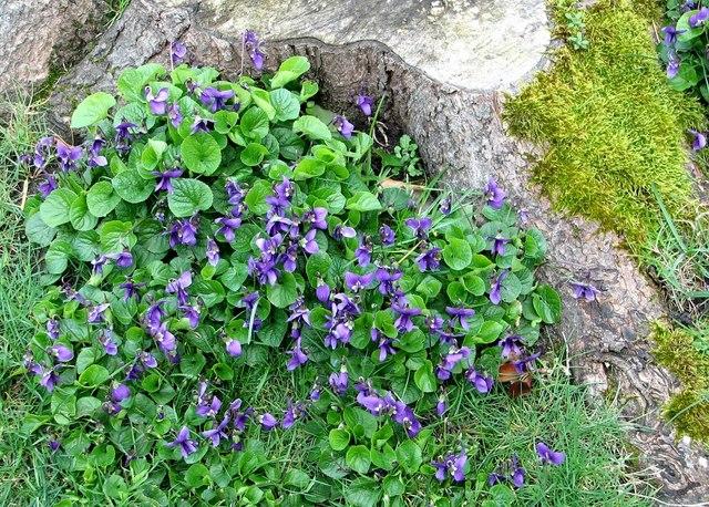 Cluster of violets