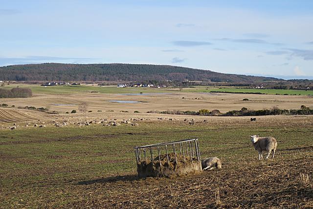 Sheep at Easter Hillside