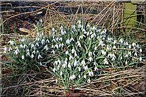 NJ1361 : Snowdrops (Galanthus nivalis) by Anne Burgess