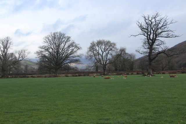 Sheep in field by A40 Brecon Road