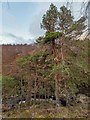 NH3856 : Scots Pine by valenta