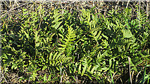NJ1263 : Common Polypody (Polypodium vulgare) by Anne Burgess