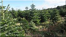 NJ1566 : Conifer Plantation by Anne Burgess