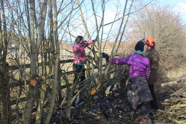 Hedge-laying, Central Valley LNR