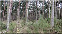 NJ1566 : Spindlemuir Wood by Anne Burgess