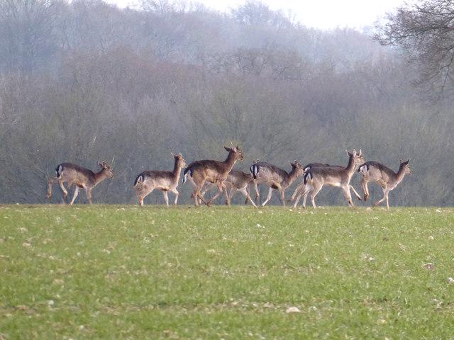 Deer near Baydon Wood