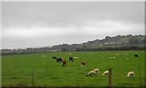 SX5857 : Livestock grazing by N Chadwick