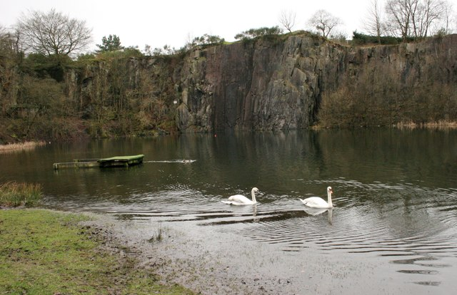 Mute swans, Auchinstarry Quarry