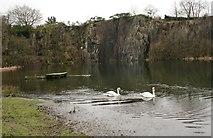 NS7177 : Mute swans, Auchinstarry Quarry by Richard Sutcliffe