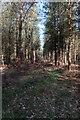 TL7389 : Conifer plantation, Thetford Forest by Hugh Venables