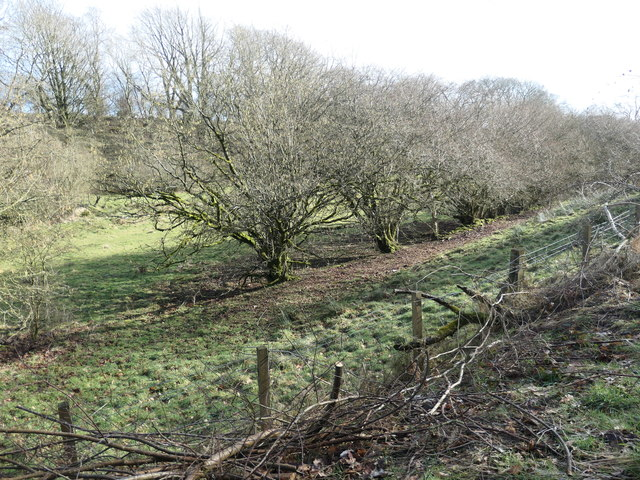 A hedge has become a row of trees, west of Phillis Wood