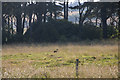 NO6851 : A deer near Red Castle by Adrian Diack