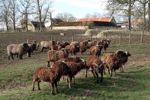 Soay sheep, Rudchester