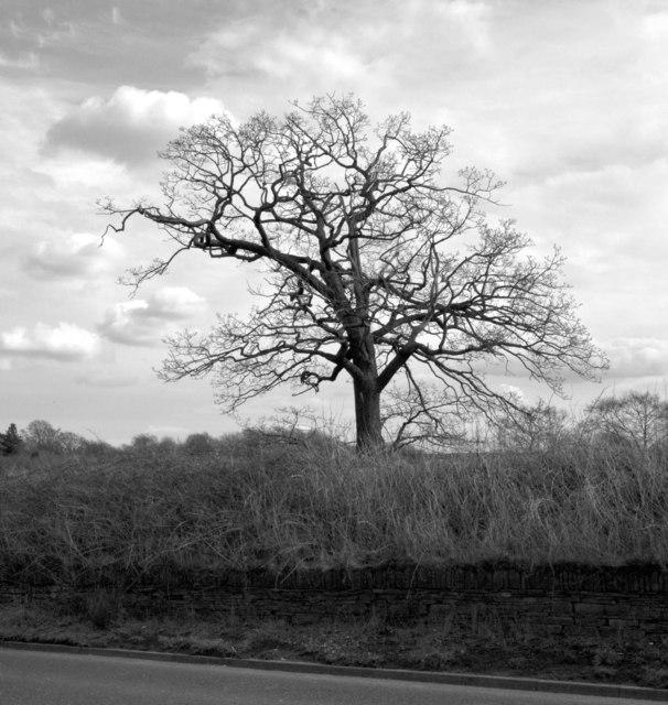 Tree, Whitehall Road (A58)