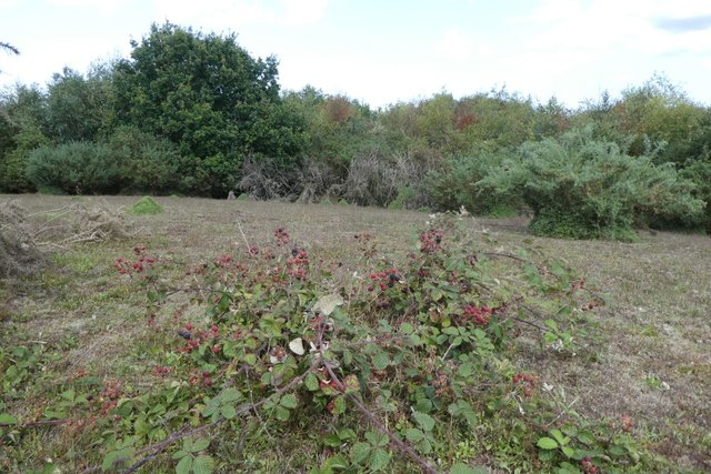 Brambles on the heath