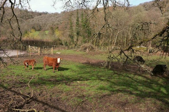 Cattle by the Wray Valley Trail