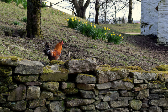 Hen on a wall, Ulster American Folk Park