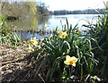 TQ5156 : Daffodils at Sevenoaks Wildlife Reserve by Marathon