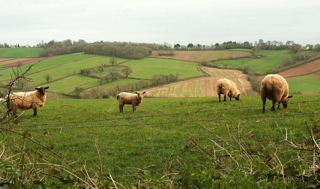 Sheep on Kerswell Hill