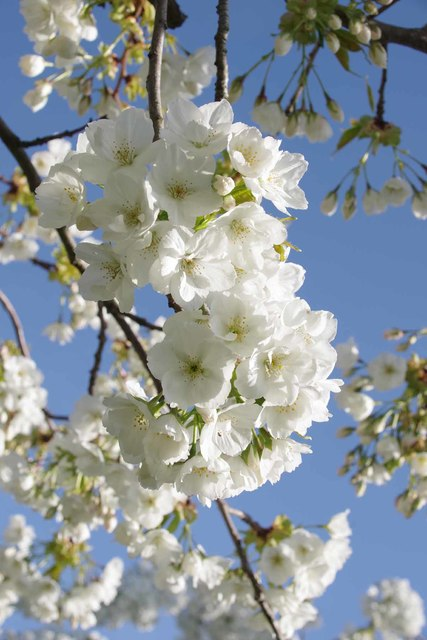 Cherry Orchard Farm Blossom by Glyn Baker