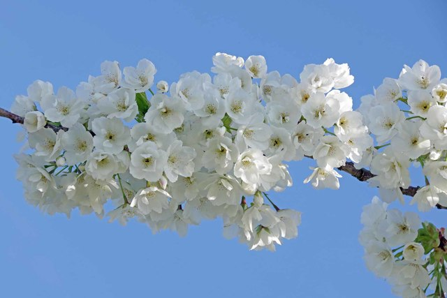 Blossom by Cherry Orchard Farm