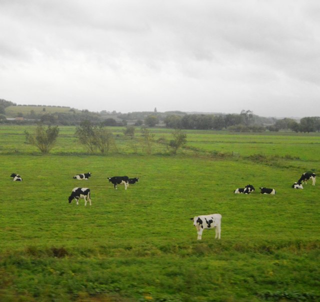Cattle, Curry Moor