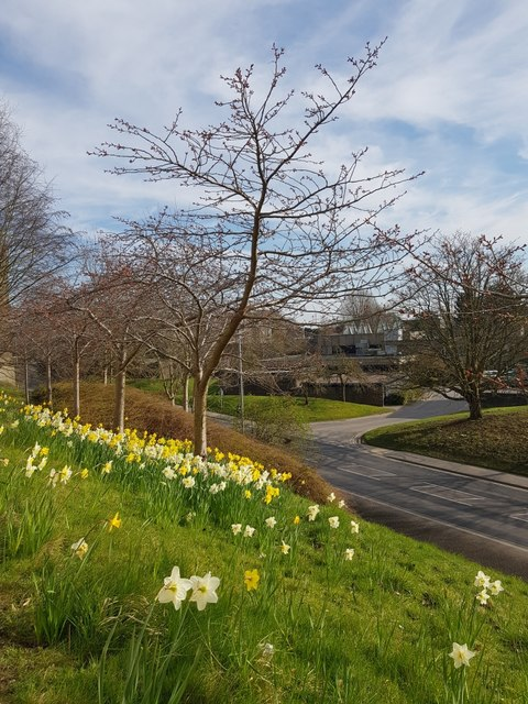 Daffodils above University Road