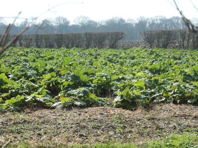 Rhubarb field, north of Stanley Marsh