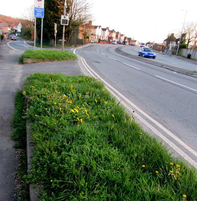 Dandelions on grass alongside the A4051 Malpas Road, Newport