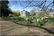 SE6250 : Daffodils and Derwent College K block by DS Pugh