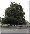 SO0451 : Dominant tree in a corner of St Mary's churchyard, Builth Wells by Jaggery