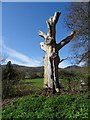 SO7739 : Dead tree by Philip Halling