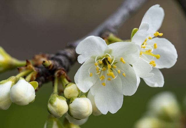 Plum blossom, Bangor