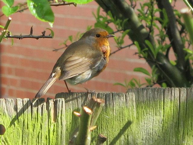 Robin in back garden