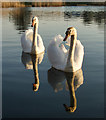 TA0932 : Swans on fishing pond, Hull by Paul Harrop